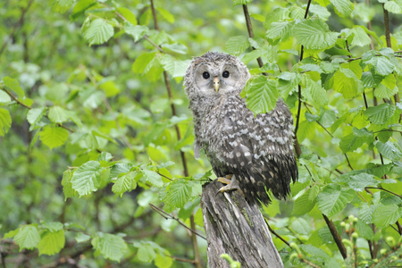 Young Ural owl on a tree in the rain Banco de Imagens