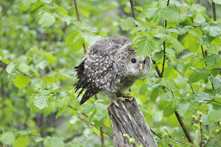 Young Ural owl on a tree in the rain Stock Photo