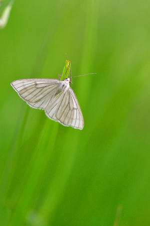 Siona lineata, the black-veined moth on a meadow. Stock Photo