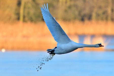 Mute swan in flight with diarrhea