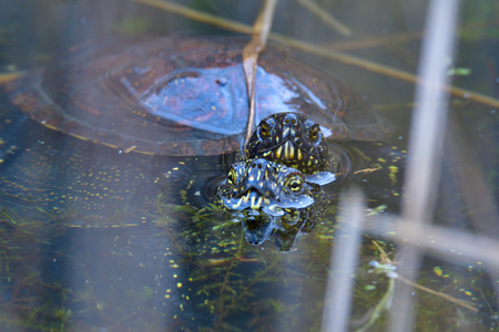 European pond turtle in spring in a pond