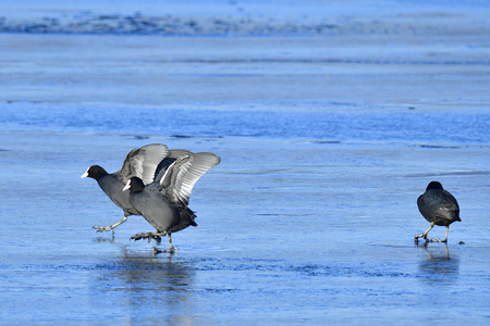 Eurasian coot in winter run over a lake