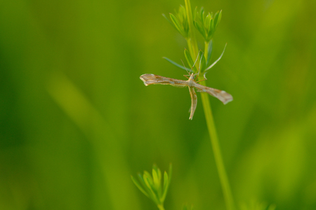 Pterophoridae or plume moths Stock Photo