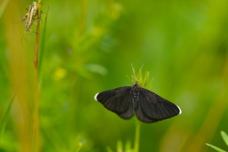 Chimney sweeper (Odezia atrata) is a member of the family Geometridae.
