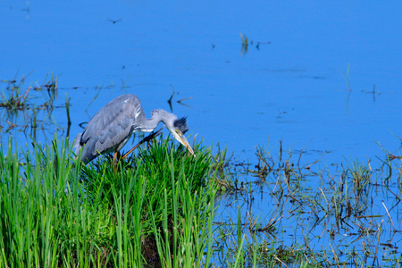 Great Blue Heron while fishing at a pond