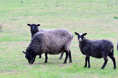 The Gotland sheep, called the Gotland Pelt on a farm