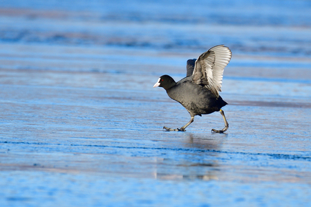 Eurasian coot in a cold winter on the ice