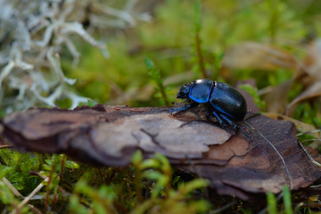 Earth-boring dung beetles in the forest