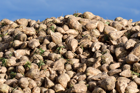 Many sugar beet on a field in autumn