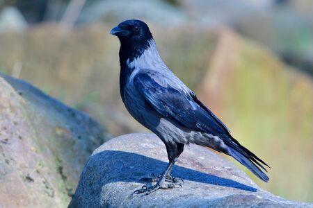Carrion crow looking for food Standard-Bild