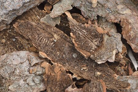 European spruce bark beetle in a spruce in the forest