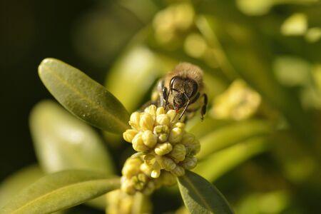 Buxus sempervirens in bloom. Outdoor, ornamental with a bee. Standard-Bild