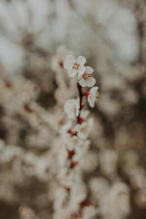 white flowers of fruit tree, closeup. Spring background Imagens
