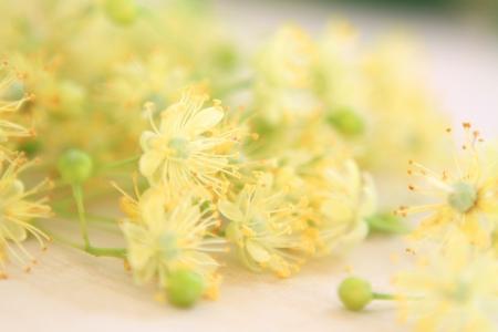 linden blossom: Linden Blossom