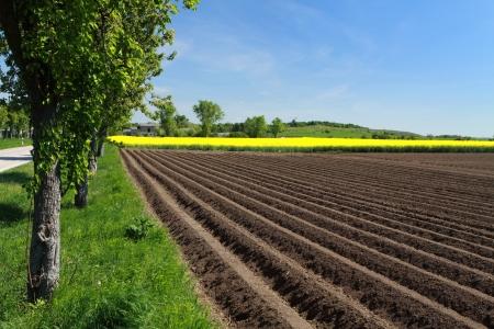 potato field: potato field Stock Photo