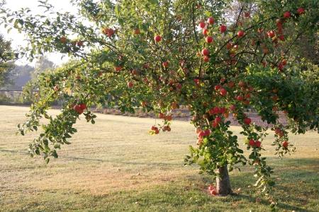 windfalls: apple tree Stock Photo