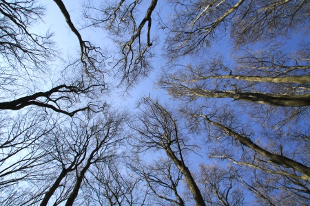 beech tree: beech tree
