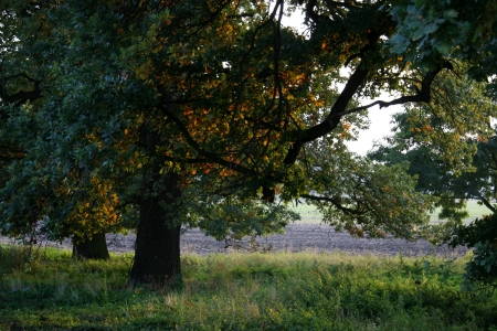 steadfast: oak tree Stock Photo
