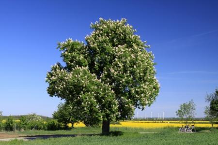 chestnut tree: chestnut tree Stock Photo