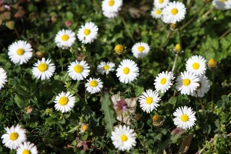 floristry: daisy Stock Photo