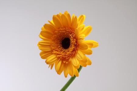 flowerpower: Gerbera Stock Photo