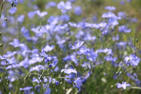 common flax: Flax Stock Photo