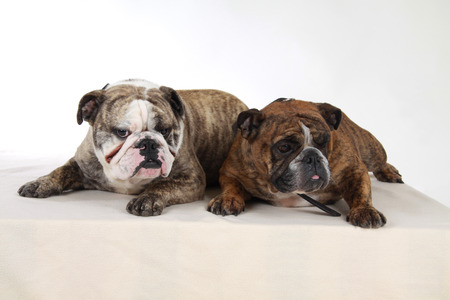 molosse: english bulldog