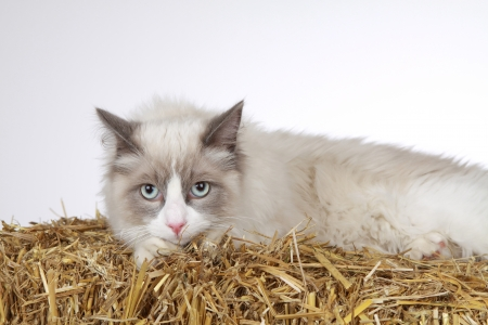 ragdoll Stock Photo - 23357065