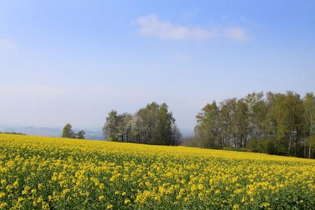 erzgebirge: Rape field in the Ore Mountains in Saxony