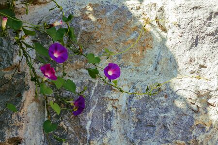 purple bindweed bloom against a stone wall Banco de Imagens