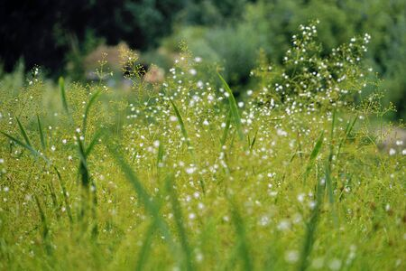 Background of delicate white wildflowers. Green meadow with white flowers.