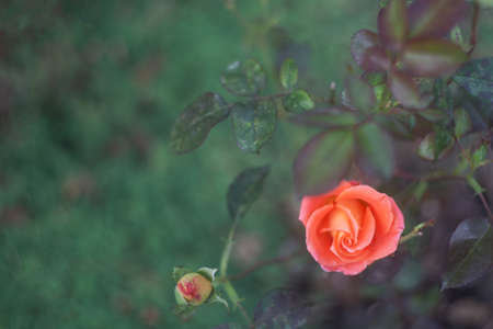 Coral rose bush and adorable green bokeh on the background. Copy space