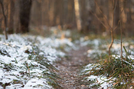 Forest path. Huge trees, first snow and green grass. December sunny morning. Idyllic scenery, low angle