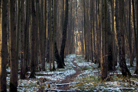 Forest path. Huge trees, first snow and green grass. December sunny morning. Idyllic scenery Banco de Imagens