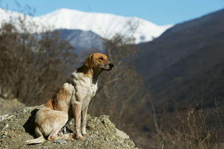 Piebald brown dog enjoying winter sun. Snowy mountains are on the background. Copy space Banco de Imagens