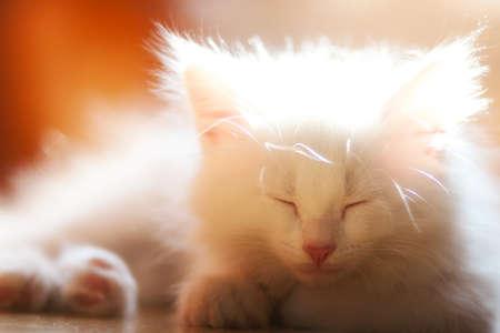 Sleeping white fluffy kitten. Back light. Soft and cozy. Warm colors Banco de Imagens