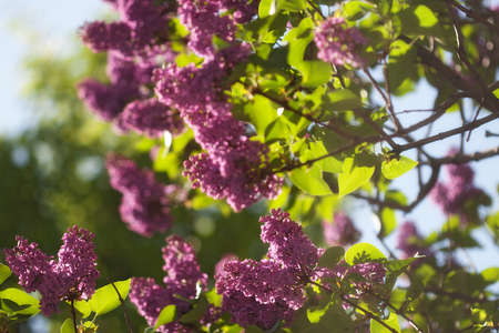 Purple lilac blossom in the park. Spring beauty. Blue sky