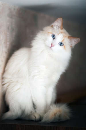 White fluffy cat with blue eyes sitting on the shelf and looking at the camera. Vertical format Banco de Imagens