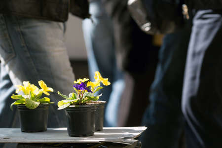 Blooming potted bright plant being sold on the street and dark people passing by. Bright spring viola flowers. Indifference attitude and ignore concept