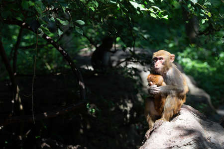 Two monkeys - mother and baby in natural habitat. China, Hainan island. Copy space Banco de Imagens