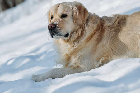 Joyka the Golden retriever dog is enjoying sunshine and snow on an extremely cold day in Western Pennsylvania. He is jumping for joy in the snow, catching icicles and snowflakes. All's white and blue.