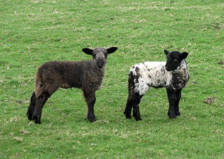 two cute black lambs staring at the photographer photo