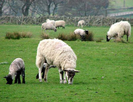 ewe: lamb and ewe grazing   Stock Photo