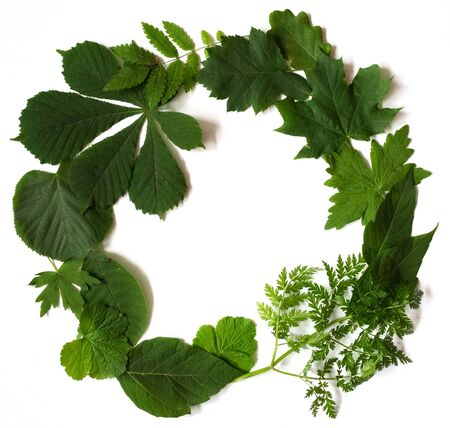 Many green leaves scattered on white background, isolated. Flat lay. Top view. Natural background, frame wreath with space for text.