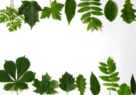 Many green leaves scattered on white background, isolated. Flat lay. Top view. Natural background, frame with space for text. Фото со стока