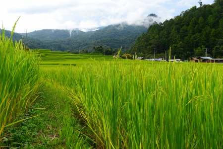Paddy Rice Fields photo