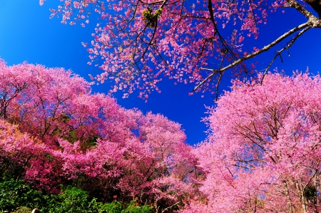 Superb Pink Cherry Blossom with Blue Sky photo