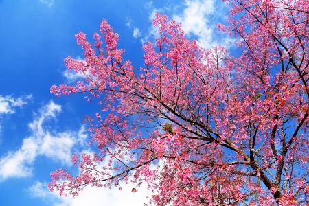 Superb Pink Cherry Blossom with Blue Sky