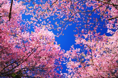 Pink Cherry Blossom with Blue Sky photo