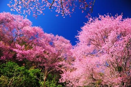 Flor de Cerezo rosa con el cielo azul